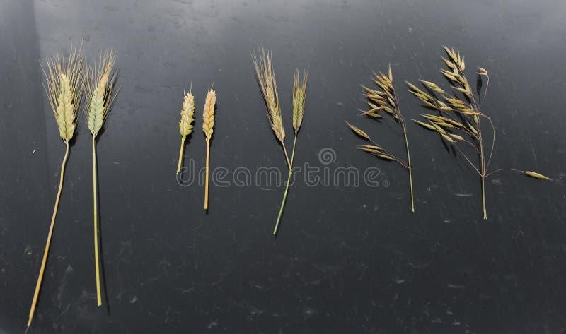 Muestras de oídos del cereal en un fondo negro Rye, avena, trigo y triticale fotos de archivo