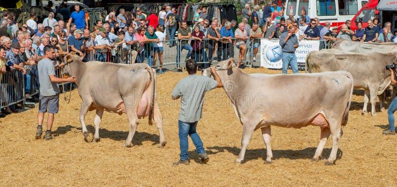 Muestre las vacas fotos de archivo