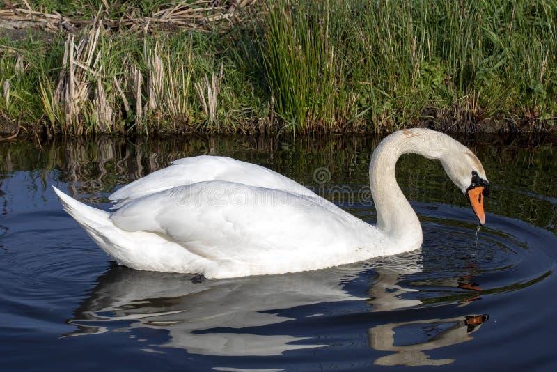 _muet cygne nager avec réflexion, blanc plumage, un orange bec encadrer avec noir et un prononcé bouton placé sur image libre de droits