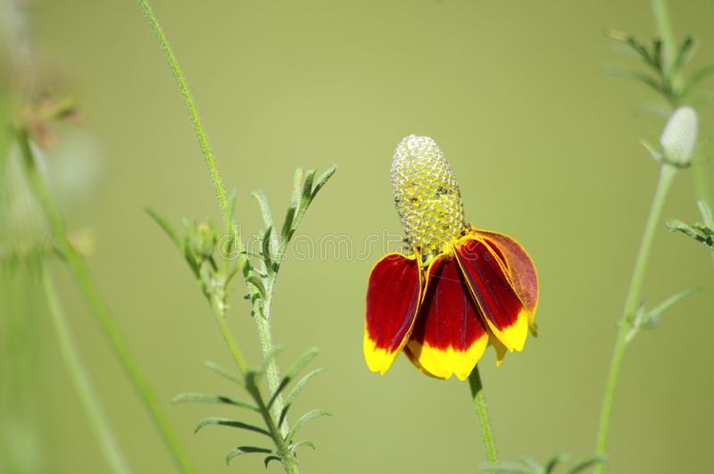 Muffen-Blumen-alias mexikanischer Hut, Blüte in Texas Lange spindeldürre Stämme mit gelber und orange Blüte stockfotos