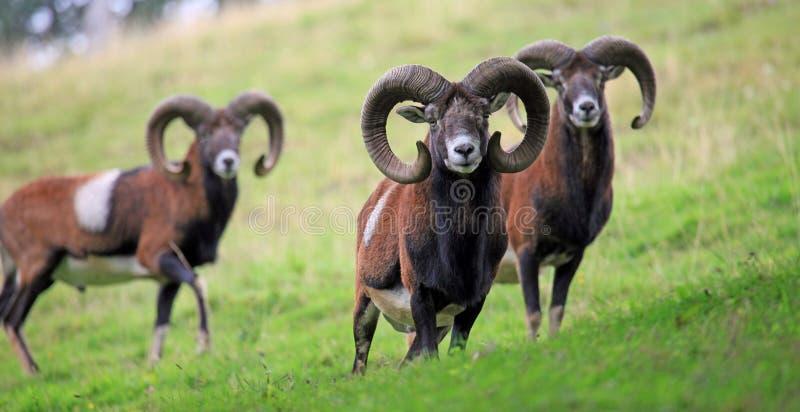 Mufflon imagem de stock