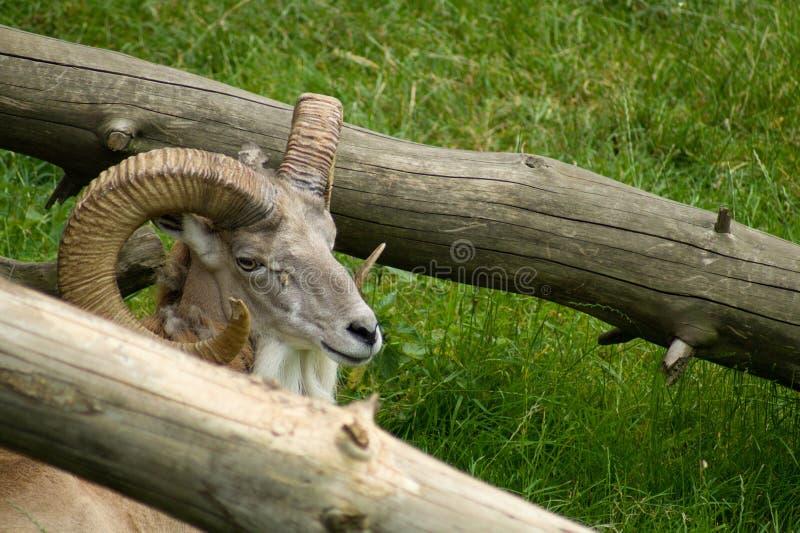Mufflon hinter Baumbaum lizenzfreies stockfoto