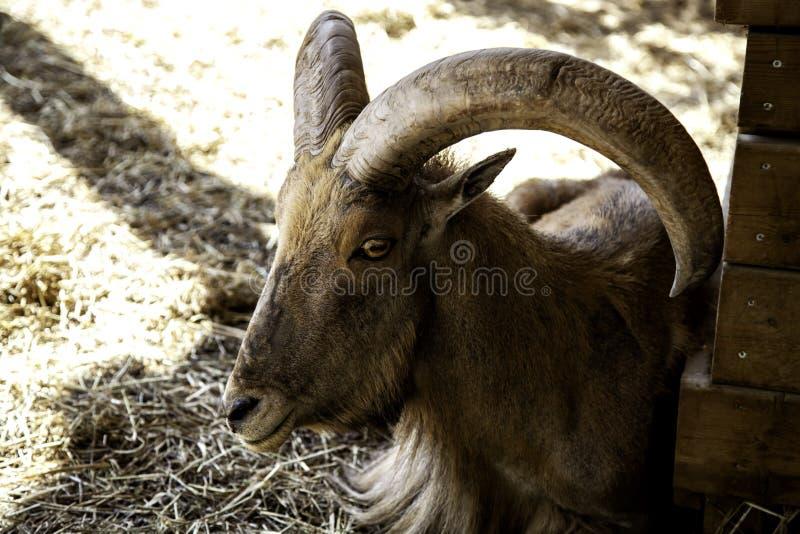 Muflon im Bauernhof stockfotografie