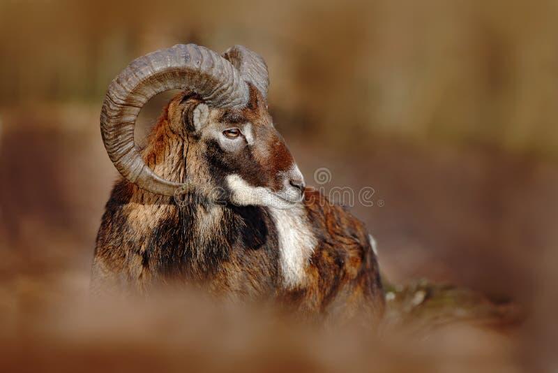 Muflon, Ovis orientalis, las uzbrajać w rogi zwierzęcia w natury siedlisku, portret ssak z dużym rogiem, Praha, republika czech obrazy stock