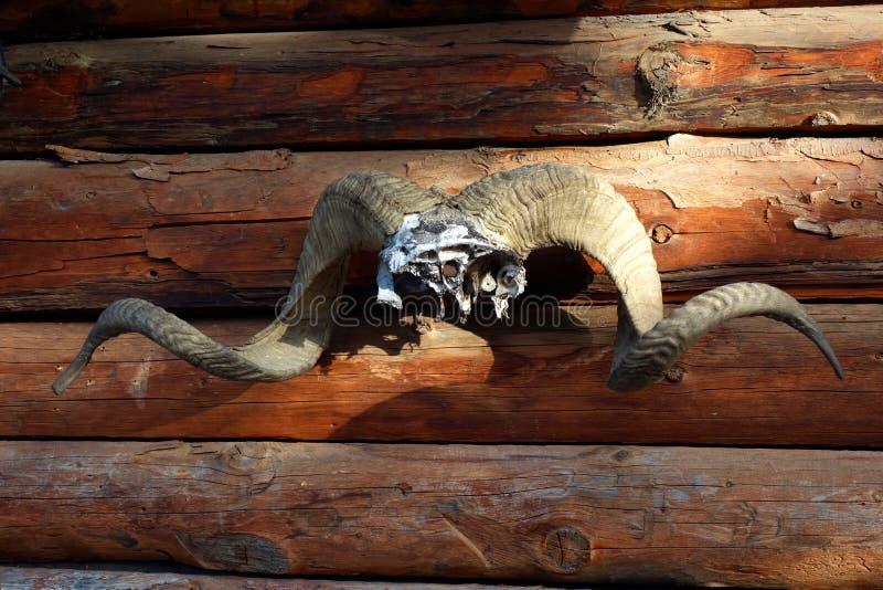 Muflon-Trophäe geschossen in den Gebirgswäldern stockbild