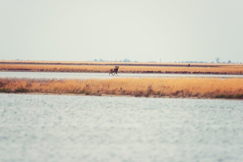 Muflone in natura selvaggia, bello paesaggio della steppa con un Ovis Orientalis di due animali fotografie stock libere da diritti