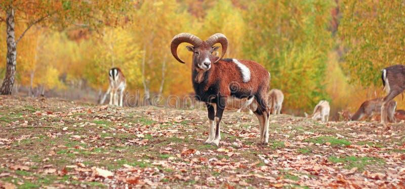 Download Muflonu Baran W Jesieni Położeniu Obraz Stock - Obraz złożonej z brąz, majestatyczny: 28962189