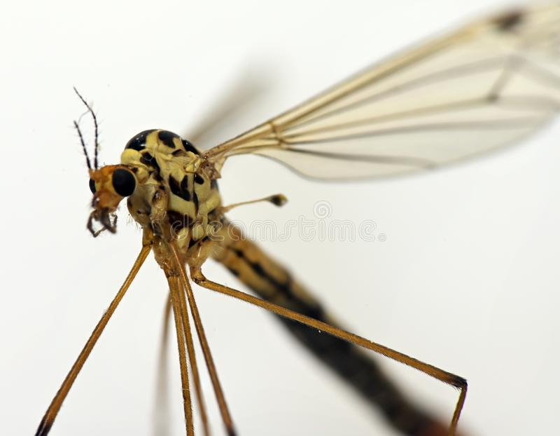 Mug bloodsucking insect royalty-vrije stock afbeeldingen