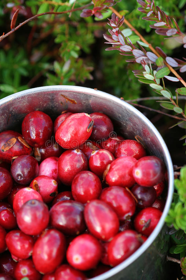 Mug with just picked fresh cranberries in swamp royalty free stock photo