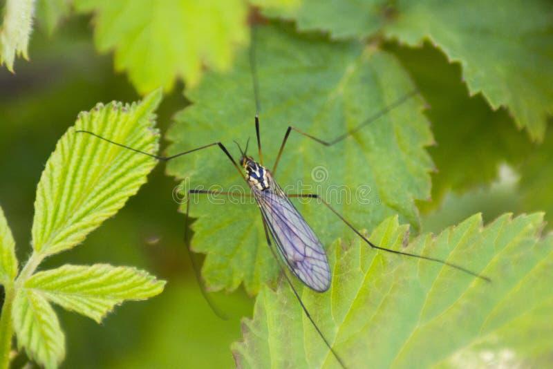 Muggen royalty-vrije stock foto