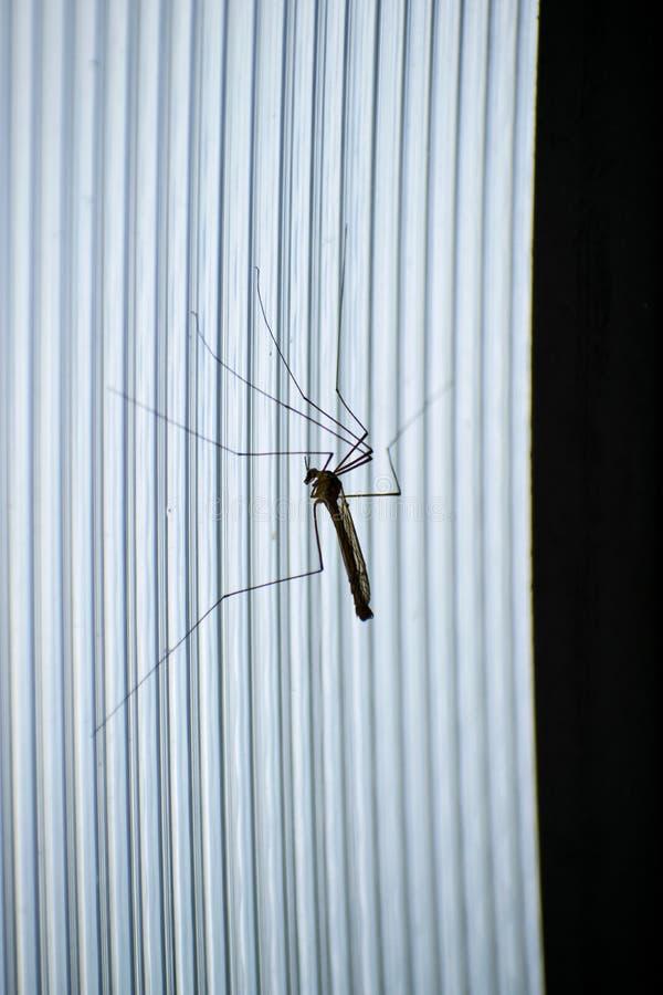 Muggen van met lange benen Groot vliegend insect Grote mannelijke mug Hooiwagen royalty-vrije stock foto's