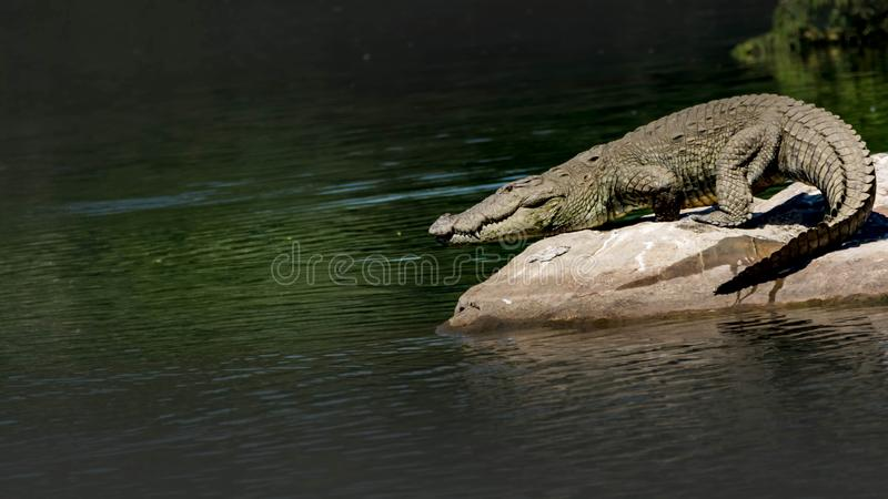 Crocodylus palustris - Wild Marsh Crocodile taking the plunge into the river. The mugger crocodile, also called marsh crocodile, broad-snouted crocodile and royalty free stock photography