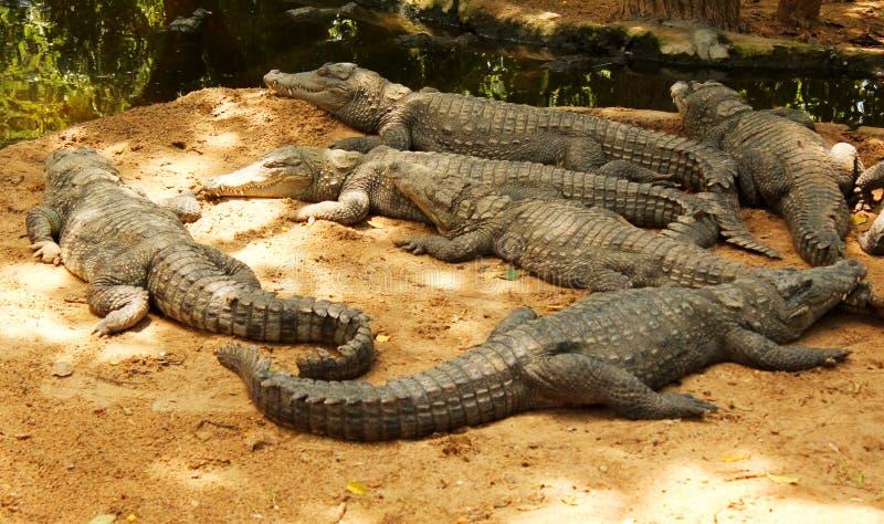 Mugger or marsh crocodiles waiting for food stock photos