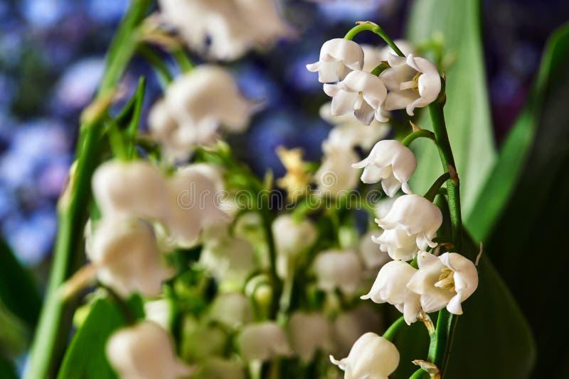 Mughetto - piccoli fiori bianchi fotografia stock