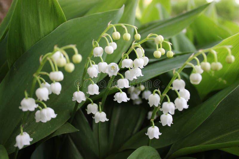 Mughetto, un fiore della molla con i fiori bianchi, campane a volte chiamate fotografie stock