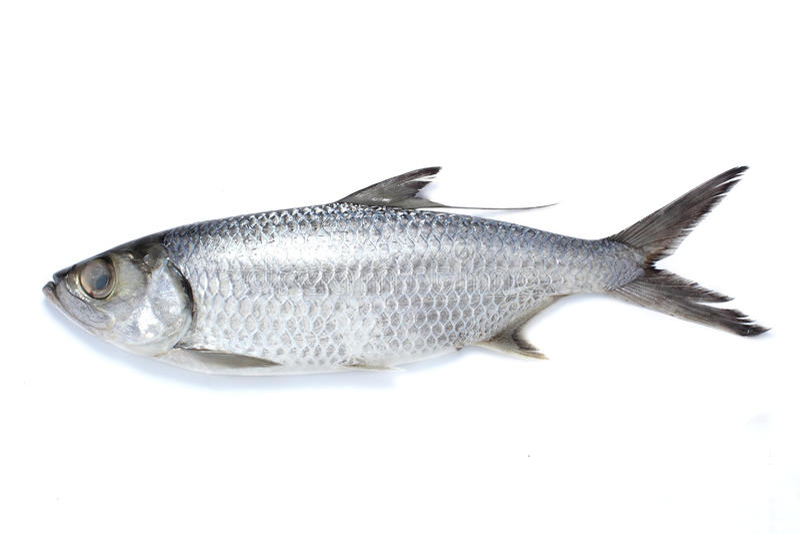 mugilidae ψαριών στοκ εικόνα