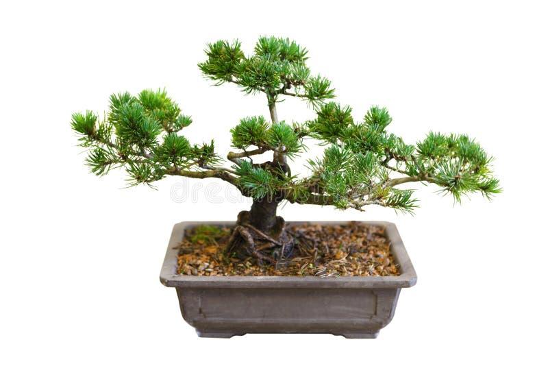 Mugo Pine Bonsai Tree stock image