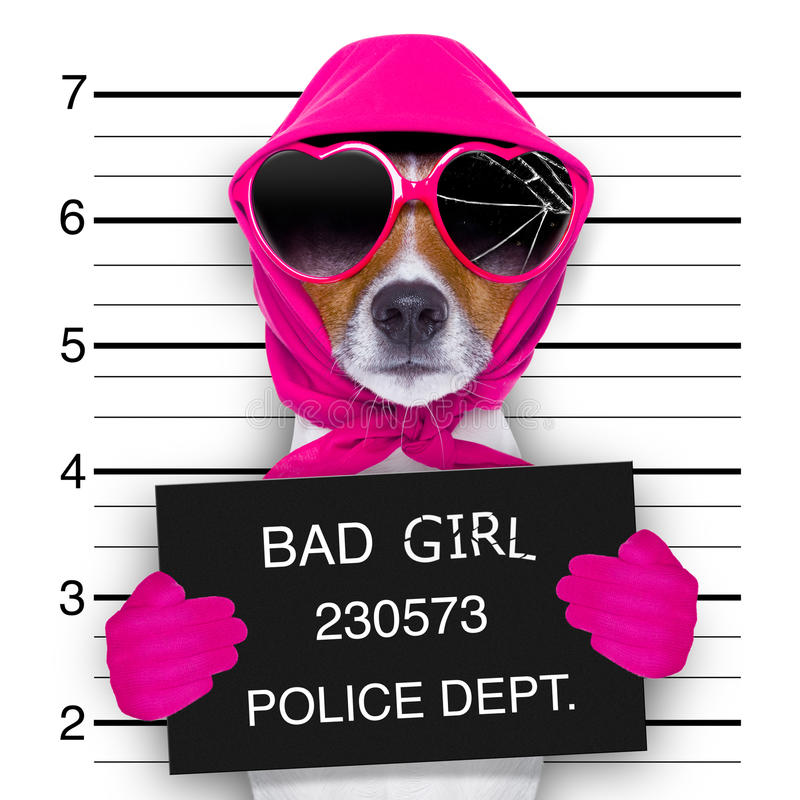 Mugshot lady dog. Diva lady girl dog posing for a lovely mugshot, as a criminal and thief with broken sunglasses and scarf stock image
