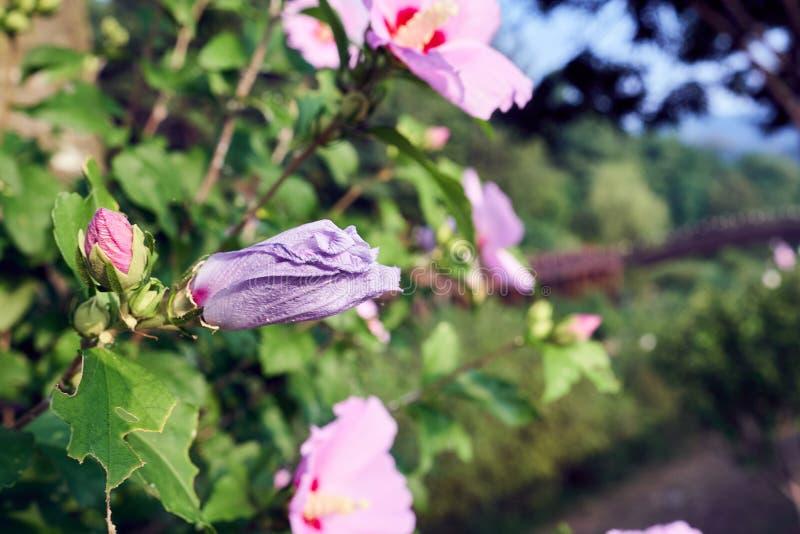 Mugunghwa, una flor nacional de Corea, todavía florecer en el depósito de Uirimji en Jechun, Corea del Sur imagenes de archivo