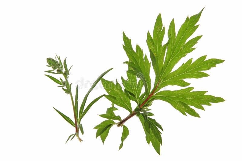 Mugwort (Artemisia vulgaris) stock photo
