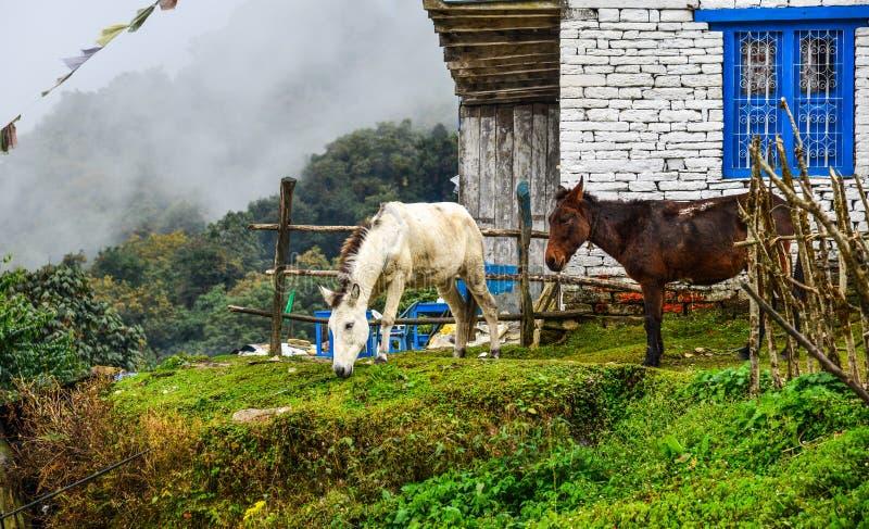 Muilezels bij bergdorp bij de weg van het basiskamp royalty-vrije stock afbeeldingen