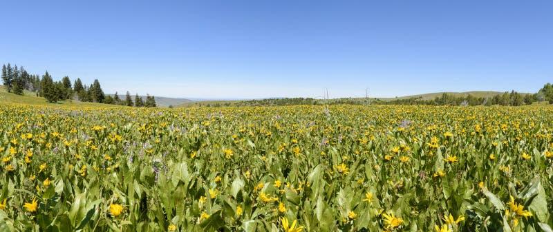 Muilezelsoren en Lupine die de Hellingen van Zuidwestelijk Idaho en Zuidoostelijk Oregon kleuren stock afbeeldingen