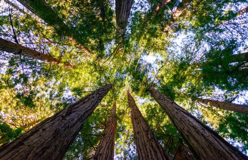 Muir森林国家历史文物 免版税图库摄影