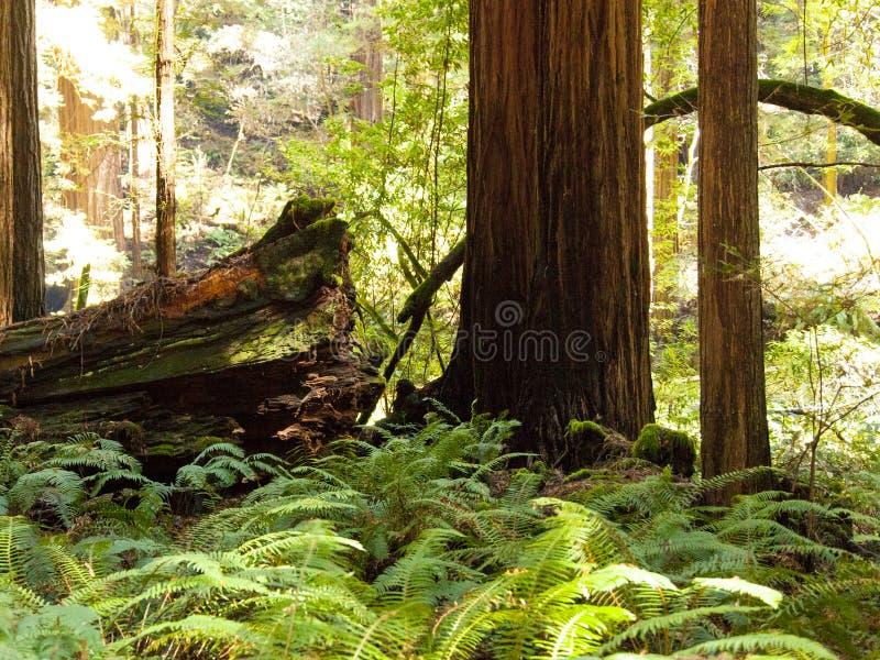 Muir森林蕨,红色木树 图库摄影