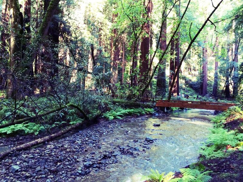 Muir森林 免版税图库摄影