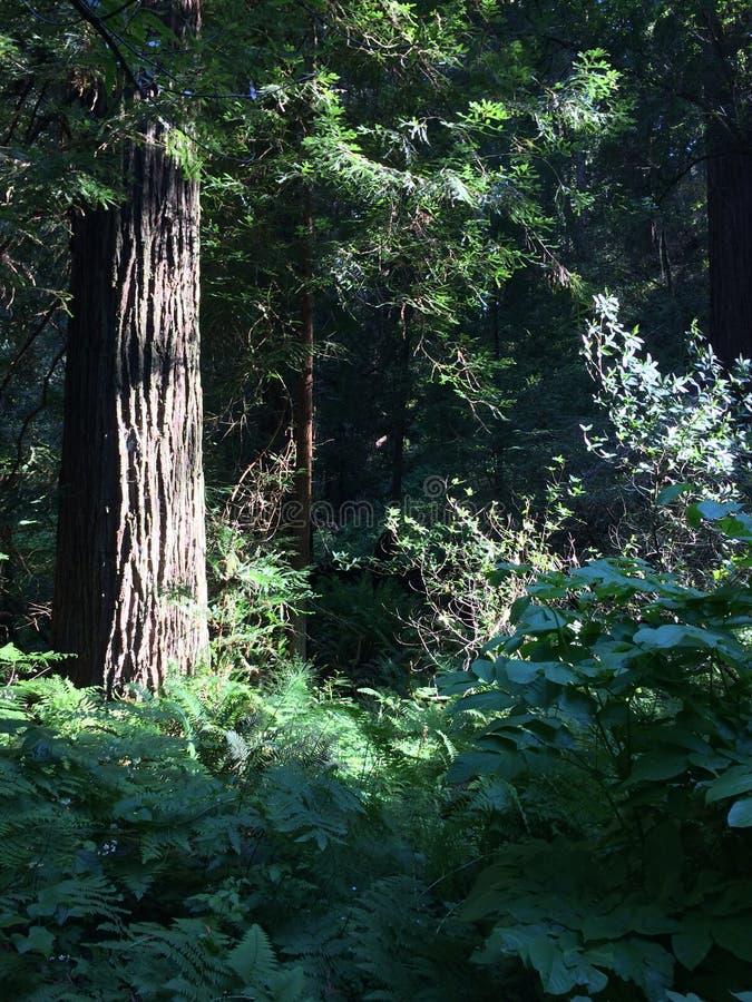 Muir drewien drzewa blisko San Fransisco fotografia stock