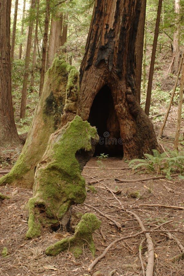 Muir Holz lizenzfreie stockbilder