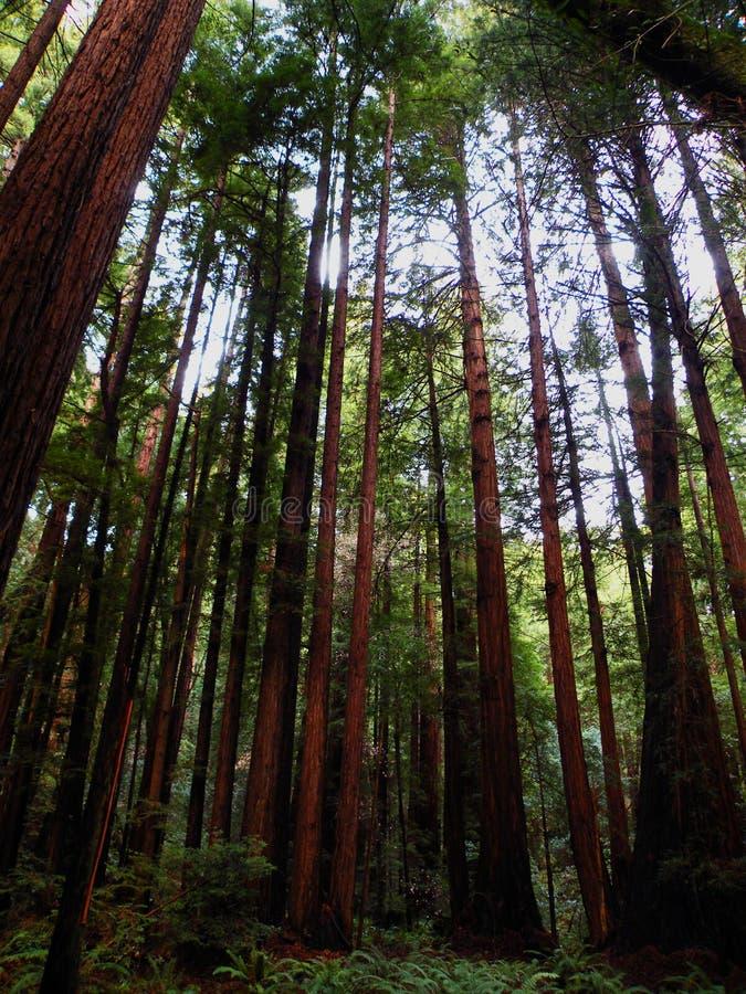 Muir Woods 3. View of trees in Muir Woods California stock photo