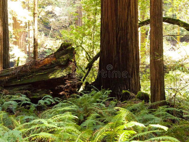 Muir Woods Ferns, Red Wood Trees stock photography