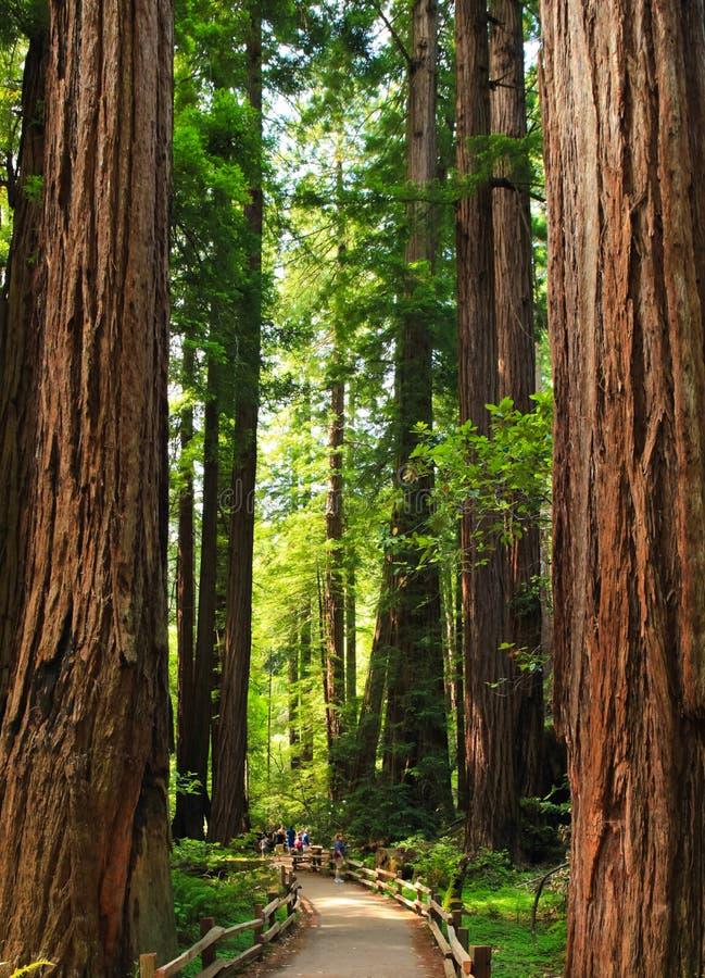 Muir Woods Giant Trees Little-Mensen royalty-vrije stock fotografie