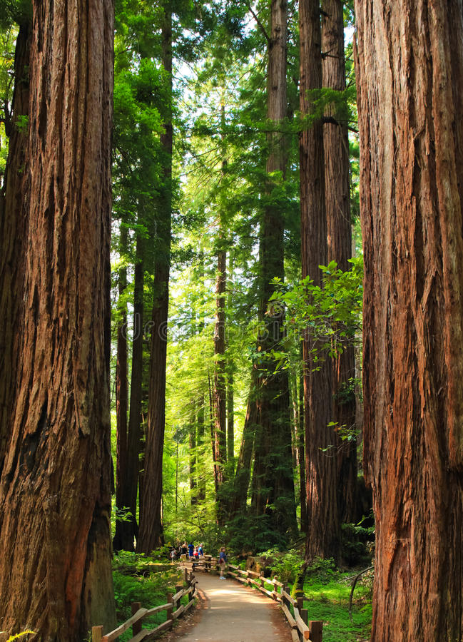 Muir Woods Giant Trees Little People. Visitors, looking tiny in comparison, check out the giant Redwoods in Muir Woods National Monument. These Giant Coastal royalty free stock photography