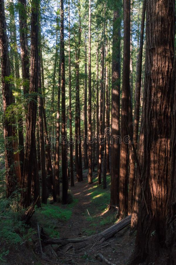 Muir Woods National-Monument lizenzfreie stockfotos