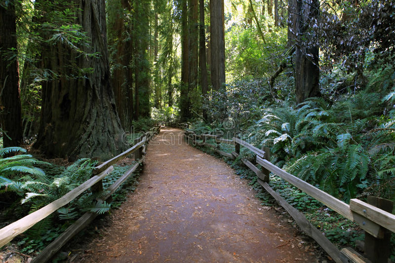Muir Woods National Monument royaltyfri foto