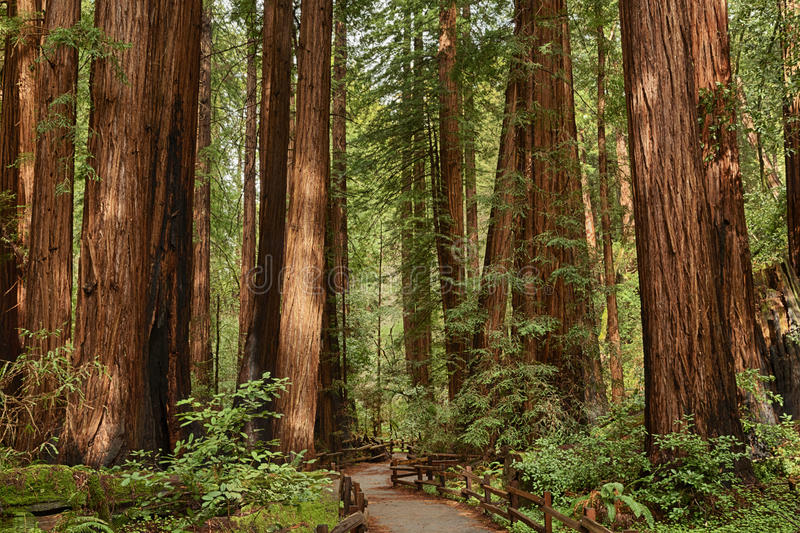 Muir Woods National monument fotografering för bildbyråer