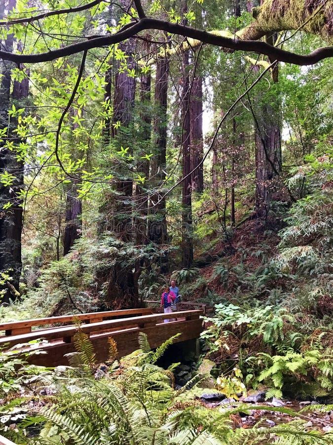 Muir Woods National Monument - 9/18/2017 - touristischer Weg durch riesige Rotholzbäume am outsid Muir Woods National Monuments g stockfotografie