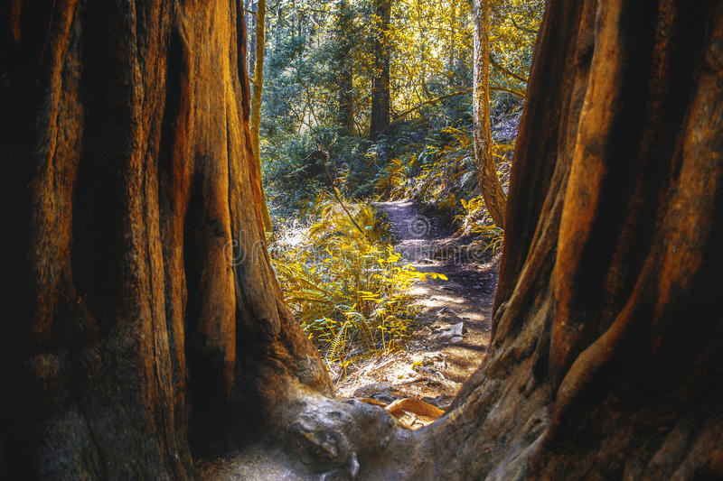 Muir Woods in Northern California. View of nature trail running through Muir Woods park area in Marin County off the pacific coast of Northern California royalty free stock image