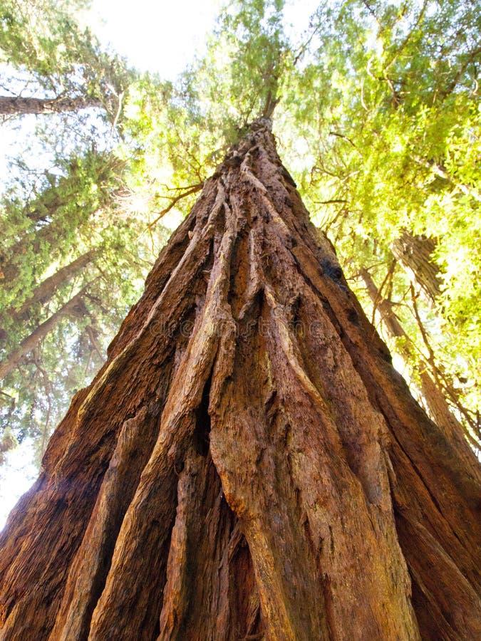 Free Muir Woods Redwood Tree Looking Up Royalty Free Stock Image - 97560236