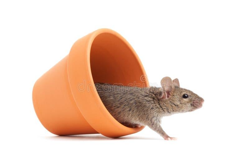 Muis in een pot die op wit wordt geïsoleerdg royalty-vrije stock foto