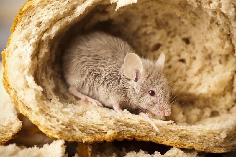 Muis en brood stock fotografie