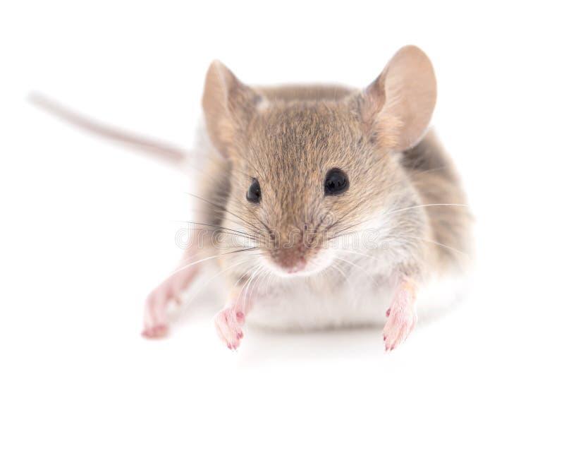 Muis op een witte achtergrond Close-up stock fotografie
