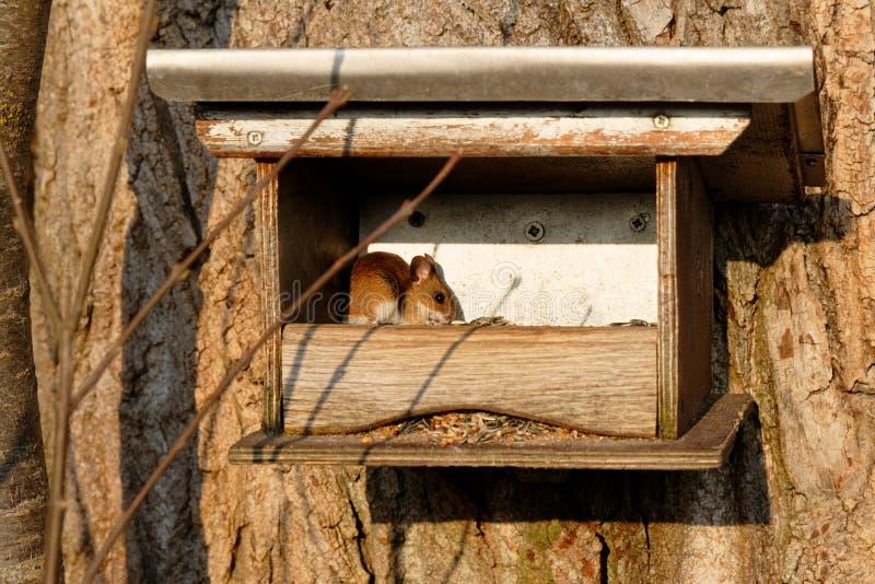 Muis in vogelhuis royalty-vrije stock fotografie