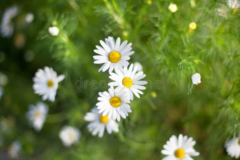 Muita flor branca das margaridas pequenas brilhantes no fundo borrado da grama verde no prado no fim do dia ensolarado acima imagem de stock