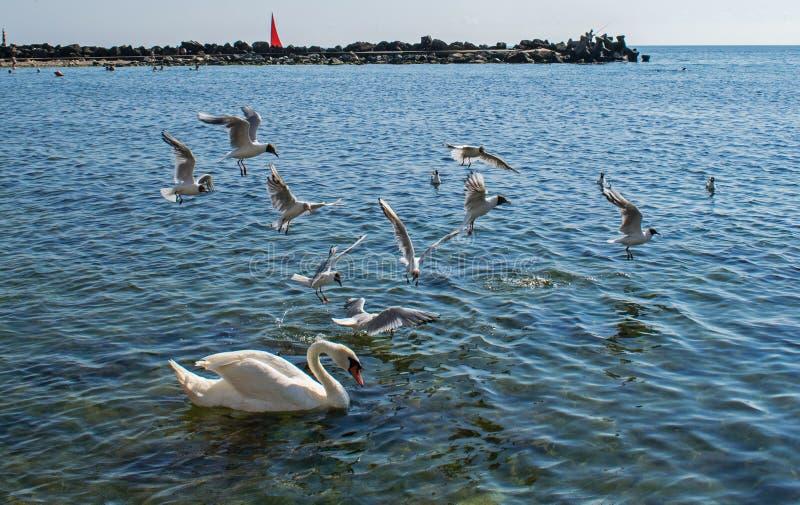 Muitas ave marinho, gaivota e uma cisne, comem perto da costa fotos de stock royalty free