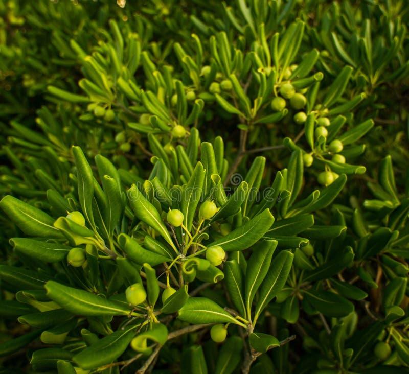 Download Fim-acima Das Azeitonas Verdes Imagem de Stock - Imagem de resulte, maturate: 29832193