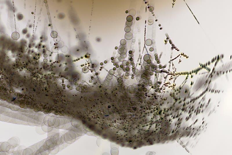 Muitas bactérias fecham-se acima sob o microscópio imagens de stock