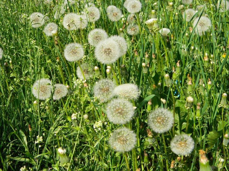 Muitas cabeças brancas de dandelion, saltos de dandelion no gramado verde na primavera, não tocadas por herbicidas foto de stock